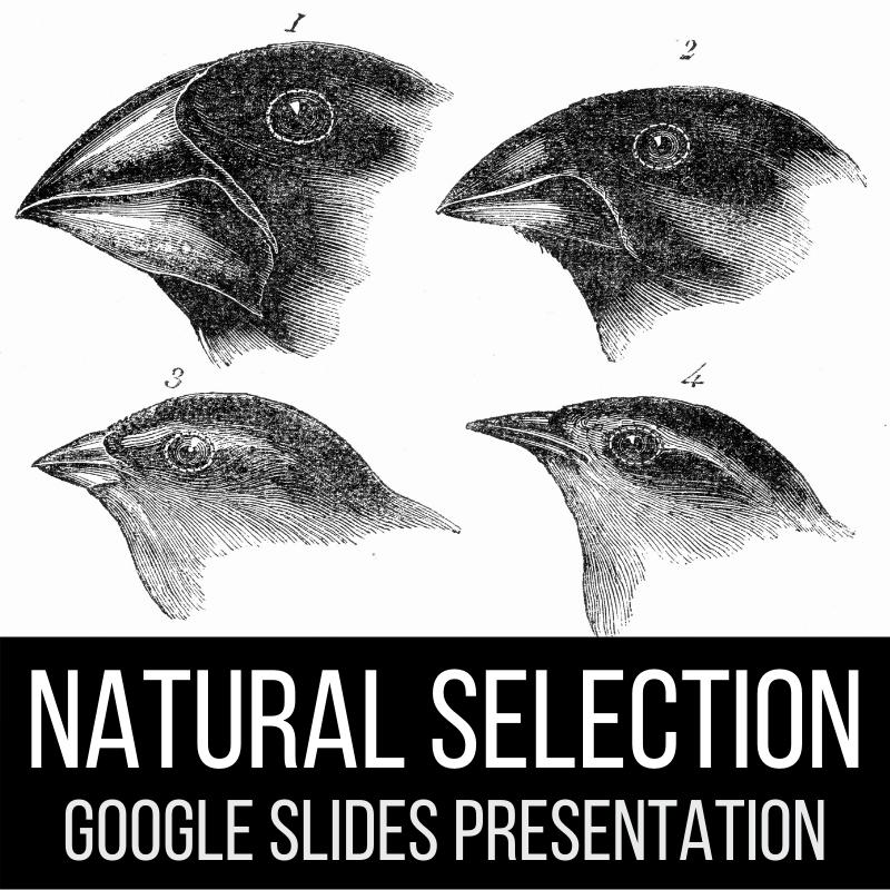 natural selection evolution google slides presentation