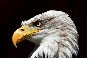 Eagle bird beak adaptations