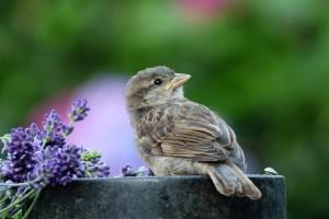sparrow bird beak adaptations