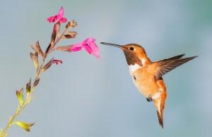 hummingbird bird beak adaptations