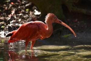 ibis bird beak adaptations